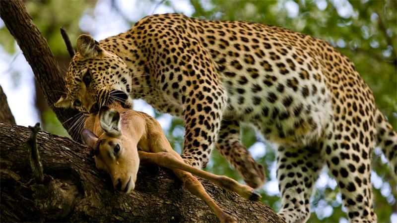 Леопард с добычей