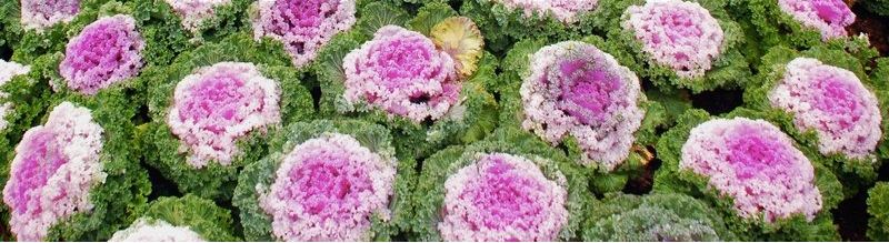 ornamental kale cabbage (brassica oleracea)