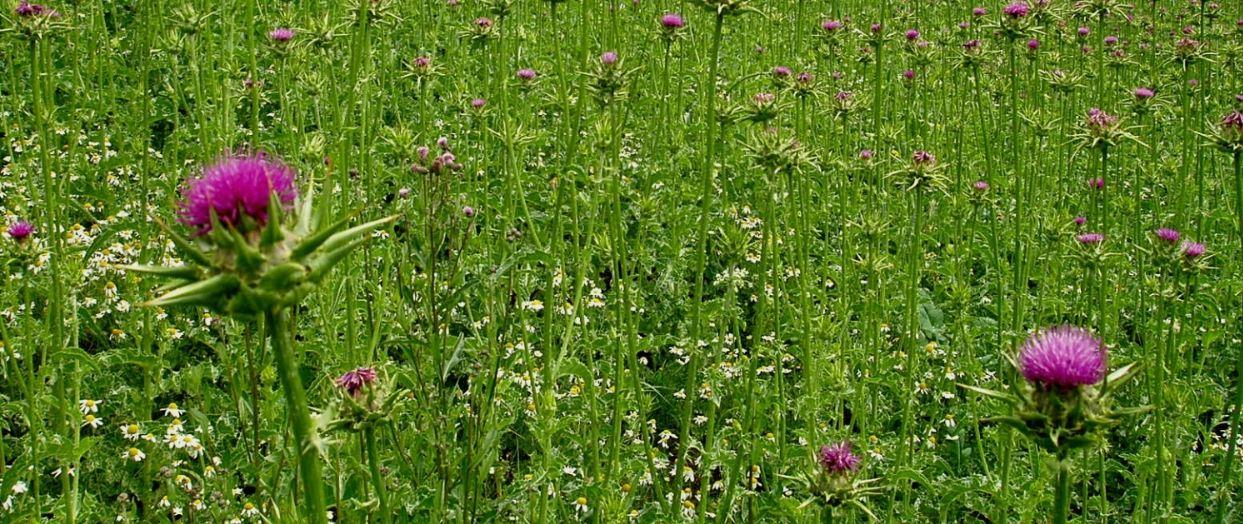 Silybum marianum plant