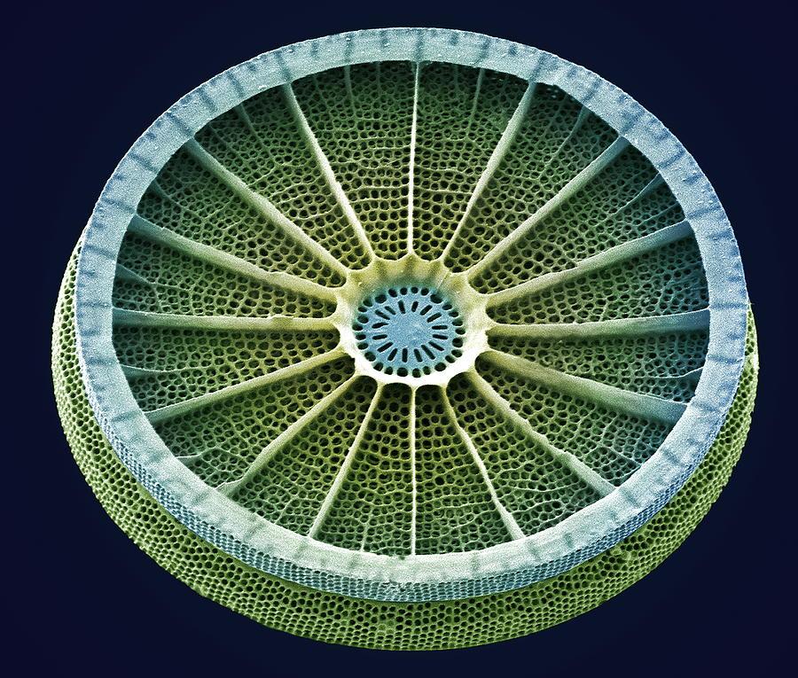 Диатомовая водоросль