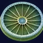Diatoms algae