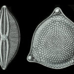 Диатомовая водоросль с панцырем