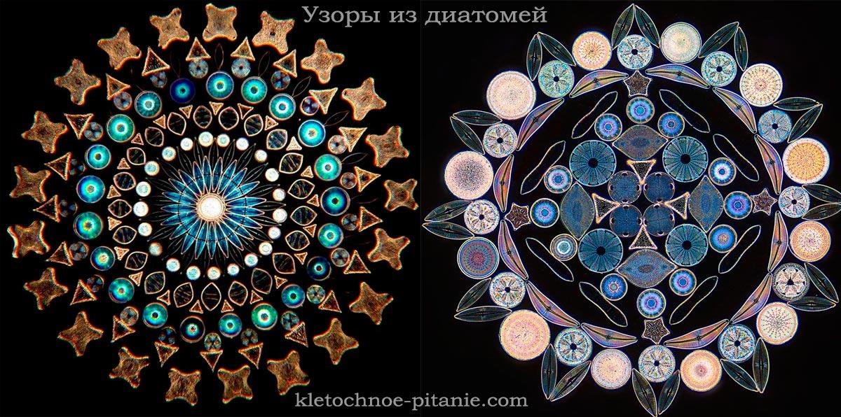 Орнамент из панцирей диатомей. Красивые диатомовые водоросли