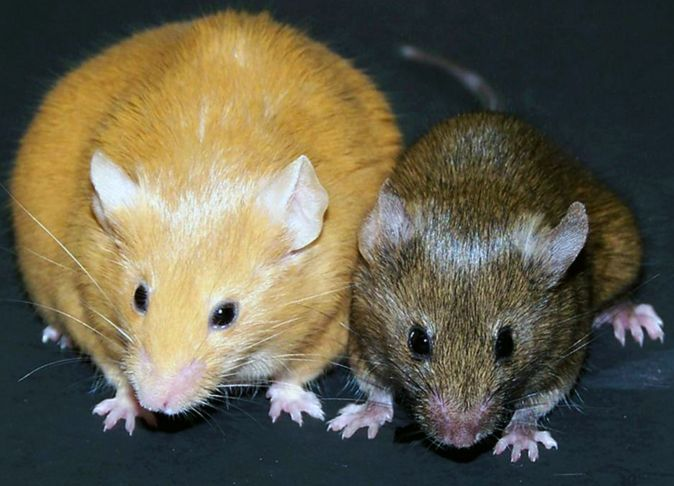 viable-yellow-agouti moese (мыши-агути)